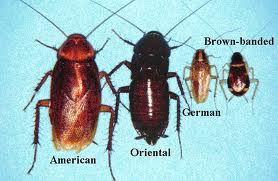 baby american cockroaches