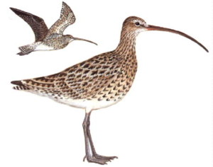 Brown Bird with Long Beak http://www.weblearneng.com/curlew